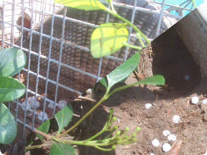 Moth Ball Armadillo Repellent Do Mothballs Work