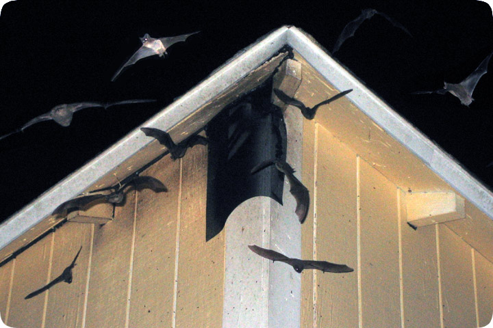 Bat Exclusion Of Colony Of Bats