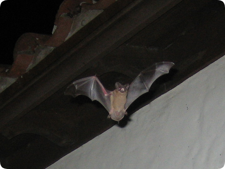 Removal Of Bats From A Barrel Tile Roof