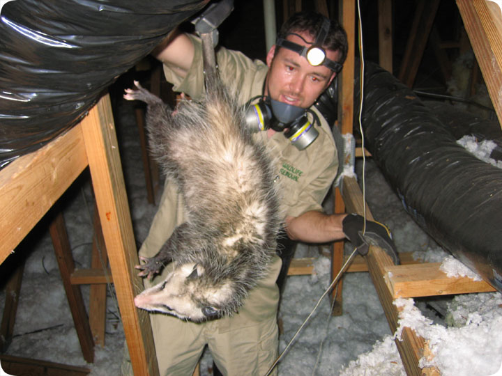 Removal Of A Critter In The Attic