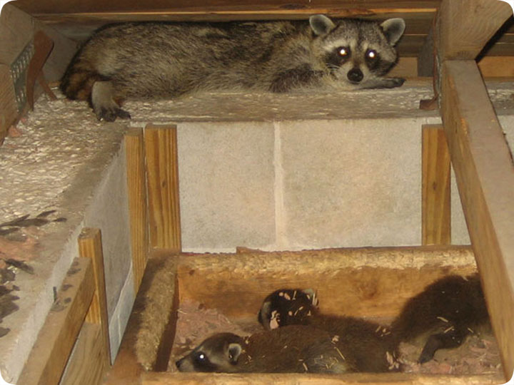 Racoons In Attic Noise Nest Removal