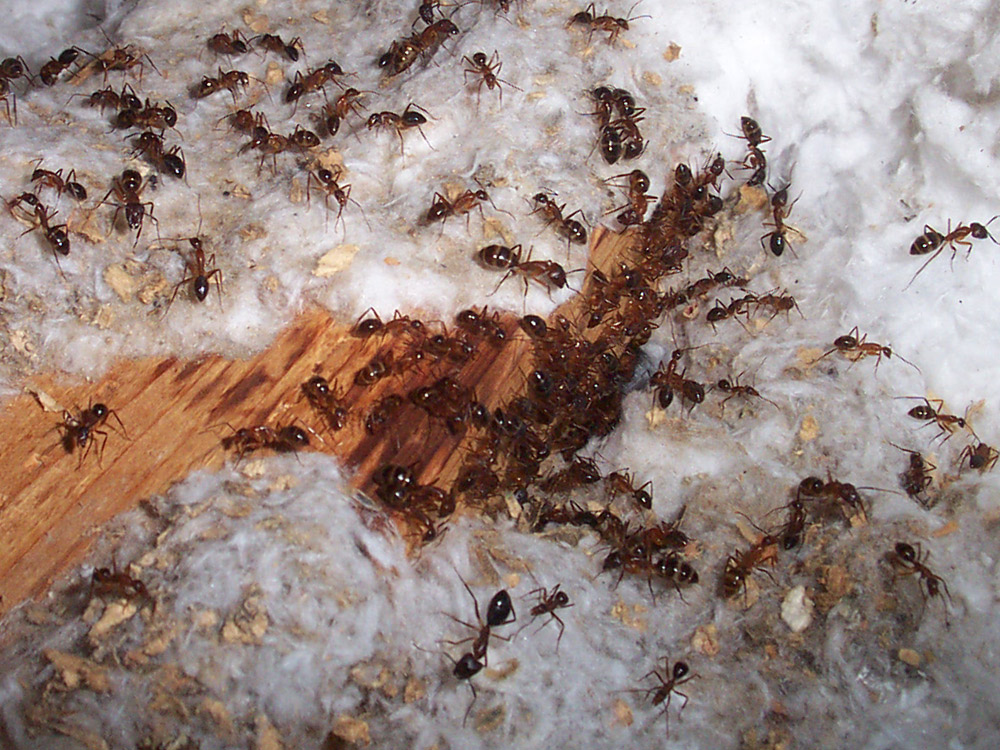Florida Insect Photograph 028 Ants In The Attic