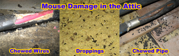Pictures Of Mouse Droppings Feces